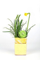 Blühende Osterglocke