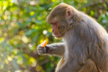 Macaque eating an orange