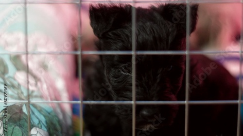 Scottish Terrier puppy in a cage