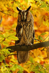 Long-eared Owl in the autumn