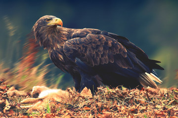 White-tailed Eagle with a prey
