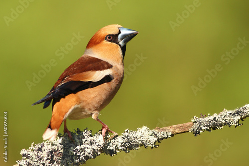 Beautiful male Hawfinch