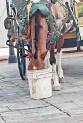 carriage bay horsein Canto Domingo, Dominican Republlic