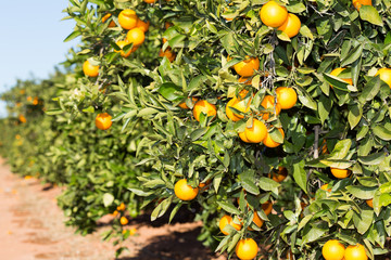 Valencia orange trees