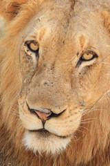 leone del sudafrica