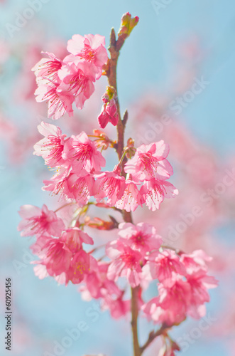 Thai Cherry Blossom (Sakura) at Doi Angkhang, Chiangmai, Thailan