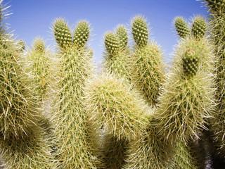 Green thorny Cacti