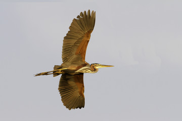 red heron (Ardea purpurea) in flight in Danube Delta, Romania