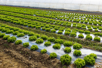 Lettuce farm with greenhouse in background