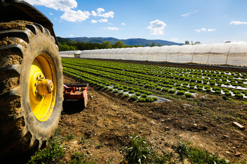 Tractor wheel and lettuce farm with greenhouse in background