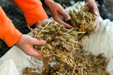 Holding piles of marihuana