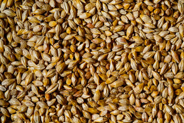 Close up of barley seeds for beer production