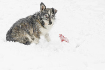 stray dog sitting in the snow guarding a bone