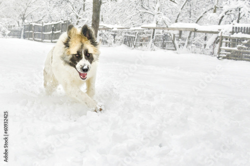 angry romanian shepherd running in the snow