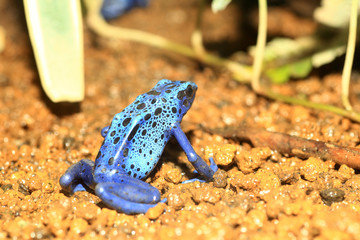 Blue Poison Dart Frog (Dendrobates azureus) in Republiek Surinam