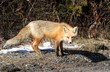 Red Fox (vulpes)