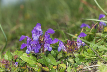 Self-heal, Prunella grandiflora