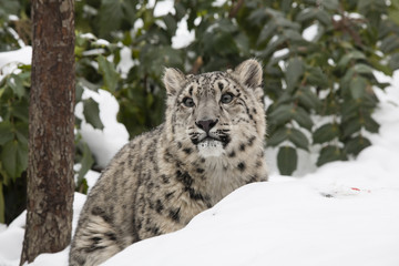 Snow Leopard Cub Peering from Behind Snowbank
