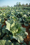 Many green cabbages in the agriculture fields