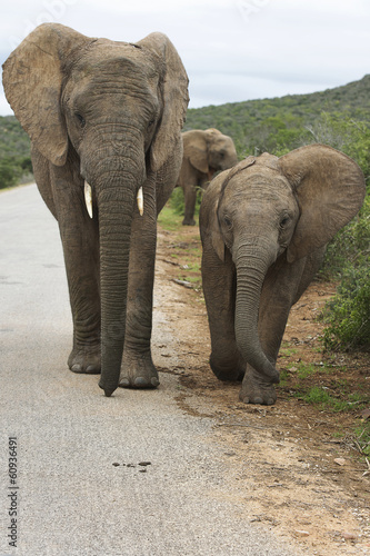 Elephant or elephants in Addo