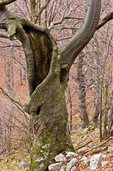 Spooky old beech tree in the middle of the mountain forest