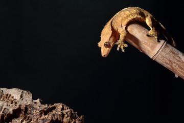 Caledonian crested gecko jumping