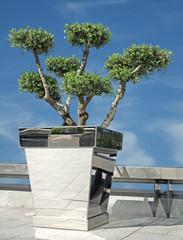 olivier taille nuage en pots