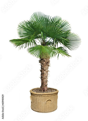 Poster Palm boom palmier chamaerops excelsa
