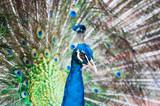 Green Peacock