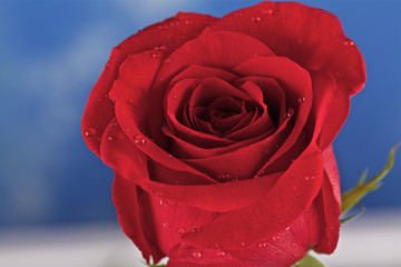 Red rose with droplets of dew on a blue background