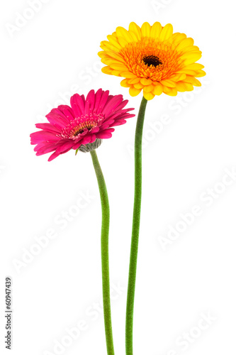 Papiers peints Gerbera yellow and red gerber