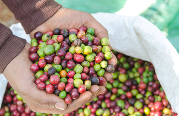 robusta coffee berries on agriculturist hands.