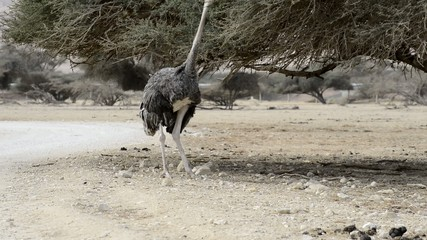 African ostrich (Struthio camelus) in nature reserve park
