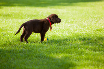 Beautiful Labrador puppy in a park