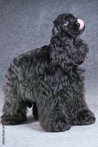 Beautiful black american cocker spaniel of gray background