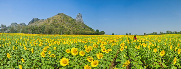Panorama of Beautiful Sunflower field