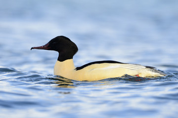 Common Merganser swimming in water.