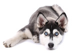 Beautiful cute husky puppy, isolated on white - 60953668