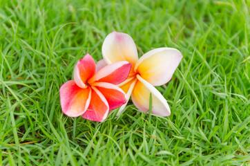 Pink frangipani flower fall on the grass