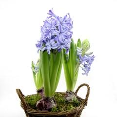 pot de jacinthes en fleur
