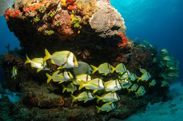 caribbean porkfish