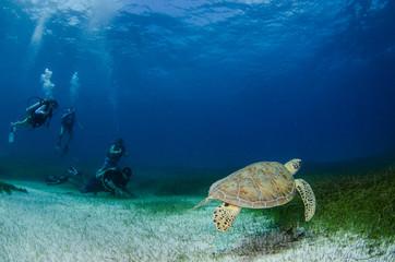 Sea turtle, Caribbean.