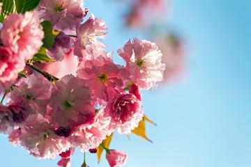 Sakura blossoms against the blue sky