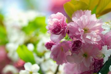 Pink flowering Japanese cherry - Sakura