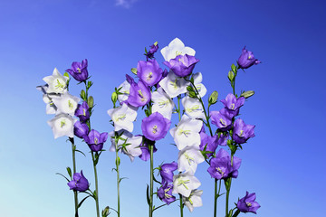 Several violet and white bell flowers