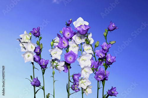 Papiers peints Lilac Several violet and white bell flowers