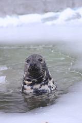 Baltic grey seal (Halichoerus grypus macrorhynchus)