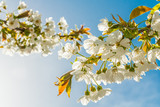 Blossoming sweet cherry branches illuminated by the evening sun