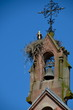 White storks nesting on a church roof in Alsace, France