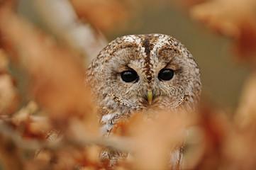 Tawny Owl hidden between leafs